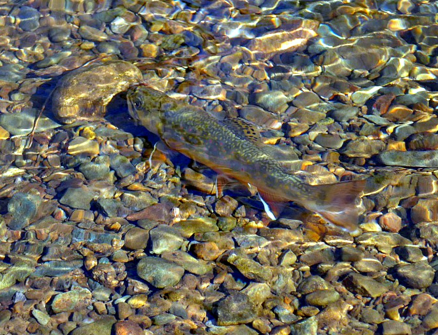trout essay Free essay: an analysis of the observed heterozygosity of lake trout populations from three lakes: devil, eagle, and loughborough, inferred from.