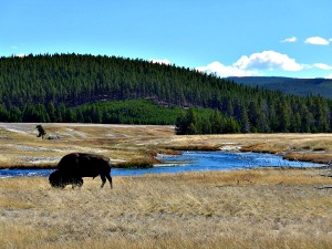 Buffalo along the Firehole River