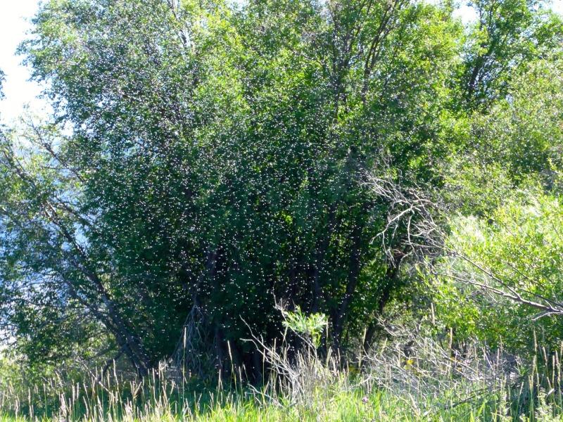 streamside trico swarm along the Madison River, Mt.