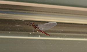 Baetis mayfly