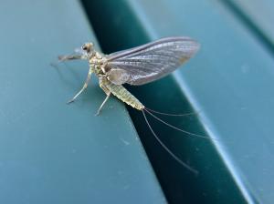 Ephemerella mayflies